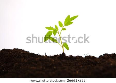young tomato sapling in soil ground, white background - stock photo