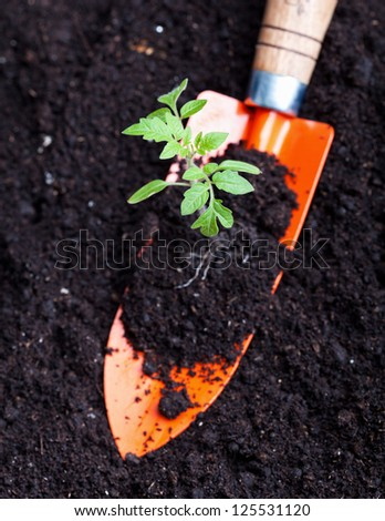 Young tomato seedling and small spade on dark soil background - gardening concept - stock photo