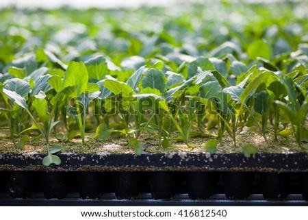 Young tomato seedlings - stock photo
