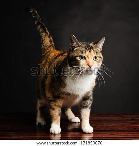 Young Torbie Kitten Cat Looking - stock photo