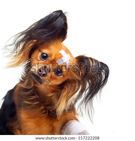 Young toy terrier dog with bandages on a white background. - stock photo