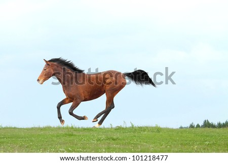Young Trakehner stallion galloping on meadow