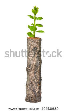 Young tree seedling grow from old stump, isolated on white
