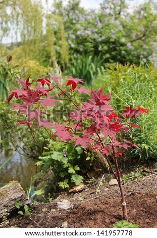 Young tree with red leaves - stock photo