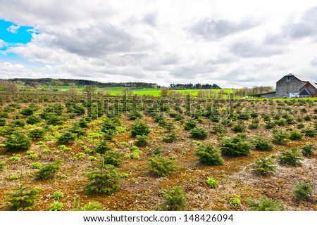 Young Trees in the Nursery for Growing Spruce for Christmas, Belgium