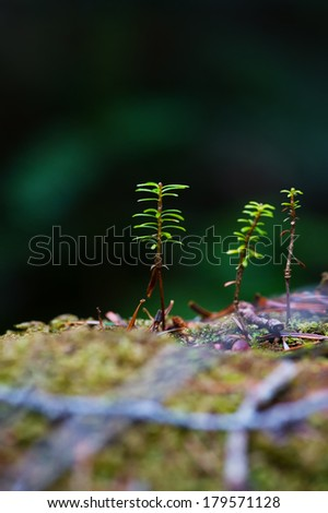 Young Trees of Northern Japanese Hemlock-Tsuga diversifolia, Nagano Prefecture/Japan, 2013/6/6.  - stock photo