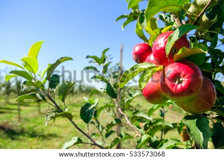Young trees sapling with red apples in an orchard