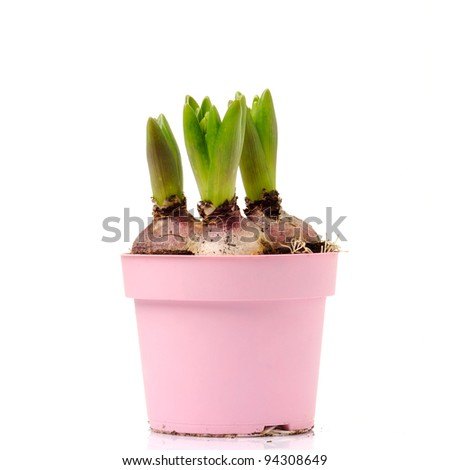 young tulip growing - stock photo