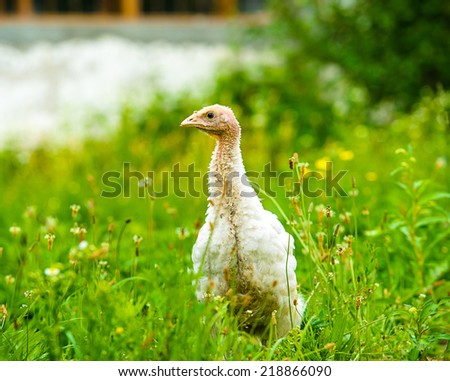 young turkey on a farm - stock photo