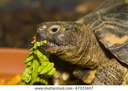 Young turtle eating fresh vegetable - stock photo