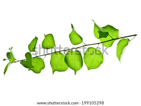 Young twig of wild fruit tree with green leaves isolated on white  - stock photo