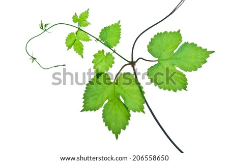 Young twig of wild grape with green leaves isolated on white