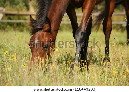 Young two month old brown foal eating grass at the pasture - stock photo