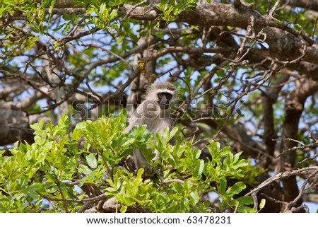 young vervet monkey sitting in tree among green leaves
