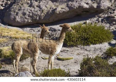 Young vicuna (Vicugna vicugna) in Lauca National Park on the Altiplano of north east Chile. - stock photo