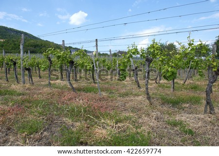 young vine. May. - stock photo