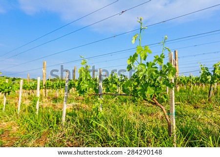 Young vineyard has planted in parallel rows at hilly landscape.