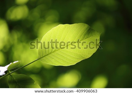 Young walnut leaf illuminated by the sun. Open aperture, shallow depth of field. local focus