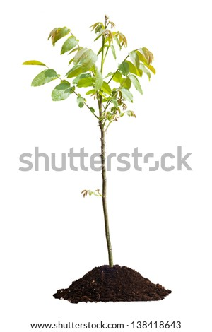 Young walnut tree isolated on white background