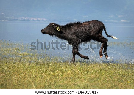 Young Water Buffalo at lake Kerkini, North Greece