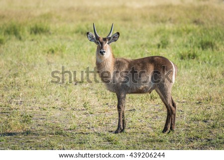 Young waterbuck standing in meadow facing camera