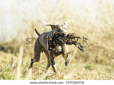 young weimaraner dog holds pheasant hunting in spring background - stock photo