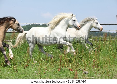 Young welsh ponnies running together on green pasturage - stock photo