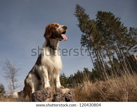 Young welsh springer spaniel - stock photo