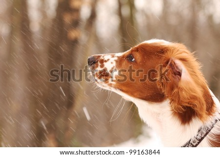 Young welsh springer spaniel puppy in winter forest