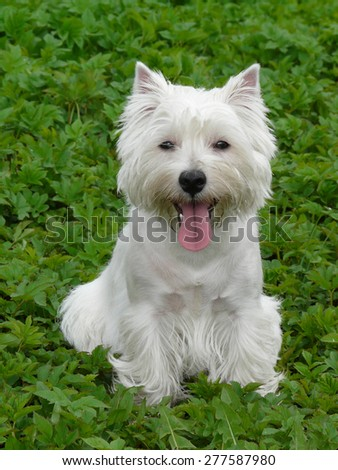 Young west highland white terrier on the grass