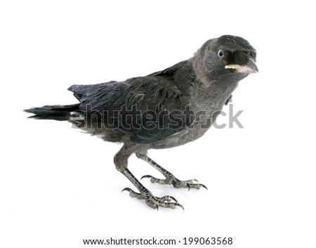 young Western jackdaw in front of white background