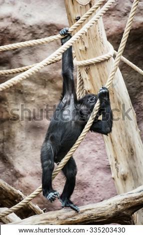 Young Western lowland gorilla (Gorilla gorilla gorilla). Animal scene. Vertical composition. - stock photo