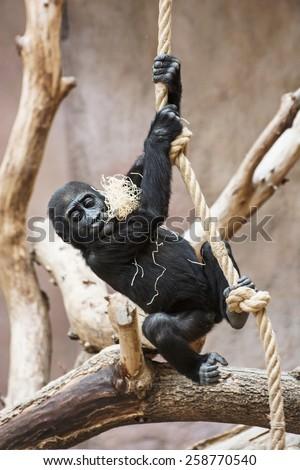 Young Western lowland gorilla (Gorilla gorilla gorilla) playing with rope. - stock photo