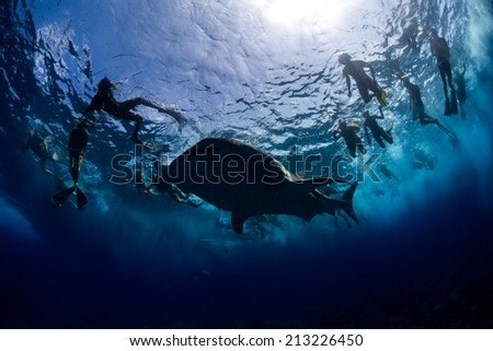 Young Whale shark followed by snorkeler in maldives - stock photo