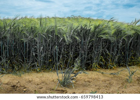 Young wheat crop in a field in Wahrsdorf, Schleswig-Holstein, Germany