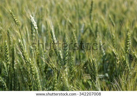 Young wheat ears in the field as a background. - stock photo