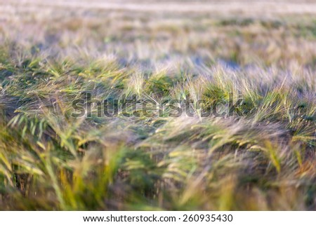 Young wheat growing in green farm field close-up with dew drops - stock photo