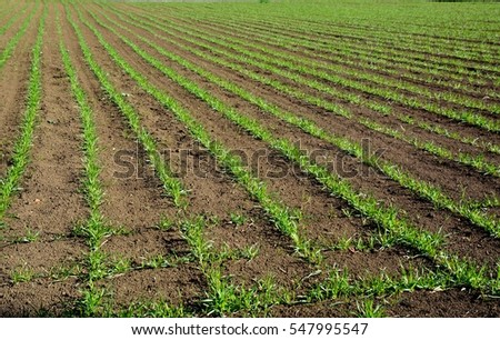 Young wheat leaves on winter field