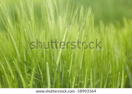 Young wheat on the field - stock photo