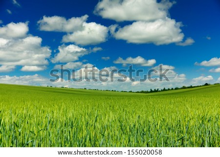 Young wheat with blue sky