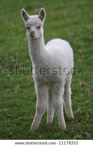 Young White Alpaca - stock photo