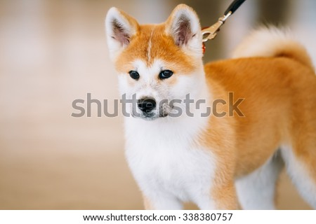 Young White And Red Akita Inu Dog, Japanese Akita Puppy Close Up