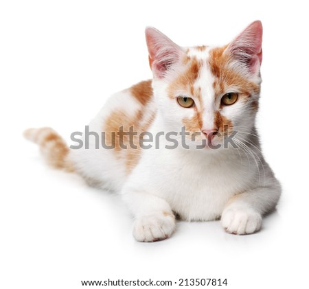 Young white and red cat on a white background - stock photo