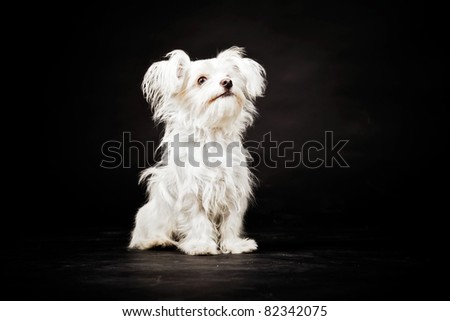 Young white boomer dog isolated on black background