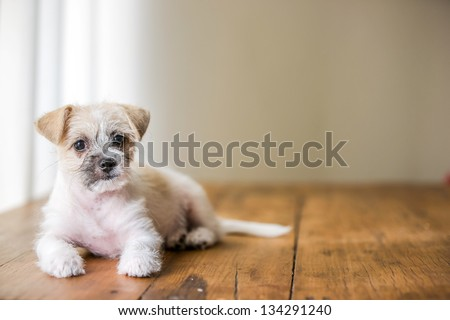 Young white cute puppy sitting on brown wooden floor - stock photo