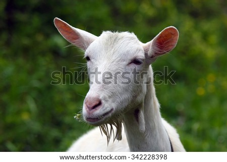 young white goat on a background of green grass. - stock photo