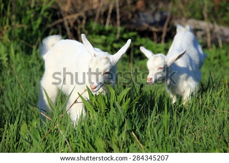 young white goatling grazing on a green meadow on a sunny spring day