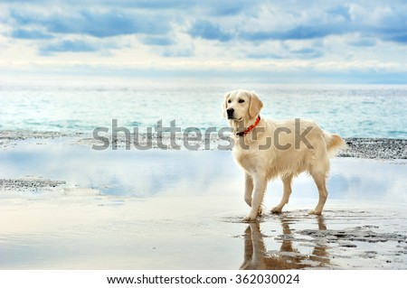 young white golden retriever stand waiting on the seafront - stock photo