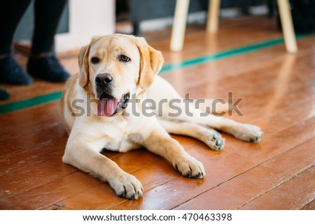 Young White Labrador Dog Sitting On Wooden Floor