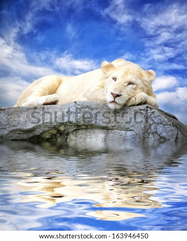 Young white lion sleep on the rock with reflections in water ,blue sky background - stock photo